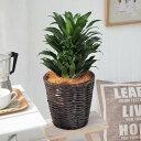 【日比谷花壇】観葉植物「ドラセナコンパクタ・バスケット」