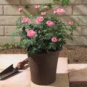 【日比谷花壇】ミニバラコンテナ(ピンク)寄せ植え