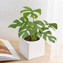 【日比谷花壇】お手入れかんたん 観葉植物「ヒメモンステラ(スクエアホワイト)」