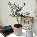 日比谷花壇 観葉植物 「オリーブ」 インテリアグリーン おしゃれ インテリア