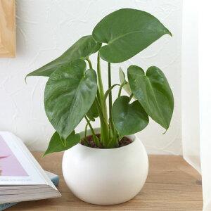 日比谷花壇 モンステラ ホワイト