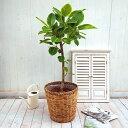 日比谷花壇 観葉植物「アルテシマゴム L ・バスケット」 おしゃれ インテリア
