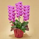 日比谷花壇 「胡蝶蘭 ピンク 3本立ち」 お祝い 開店祝い 鉢花