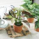 【送料無料】光触媒 光の楽園 カントリーグリーン3種セット 【グリーンテーブル 観葉植物】ポトス・クロトン・ゼブラ