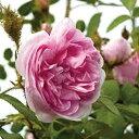 バラ苗 オールドローズ OLD「ロサケンティフォリアムスコーサ」 鉢植え