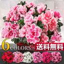 ベルギーアザレア【冬の鉢花ギフト】当店一番人気! 【02P03Sep16】