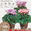 鉢植えのシクラメンのイメージ