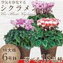 【シクラメン】生産農家直送の空気を浄化するシクラメン 6号鉢 選べる18品種 バスケット付き