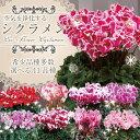 【シクラメン】☆希少品種多数☆生産農家直送のシクラメン 5号鉢 選べる11品種 冬桜太陽 舞姫 プリ