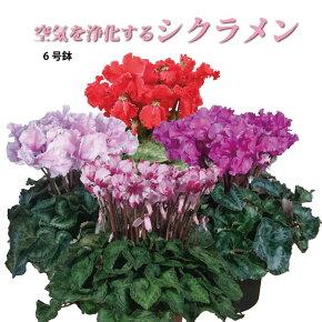 【シクラメン】生産農家直送の空気を浄化するシクラメン 6号鉢 選べる15品種 ラッピング付き