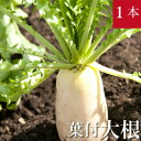 葉付き大根 1本 無農薬・無化学肥料 千葉県産