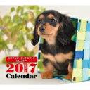 2017年 ミニカレンダー ミニチュア・ダックスフンド / 井川俊彦 【本】