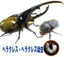 ヘラクレス・ヘラクレス初令幼虫【あす楽対応】