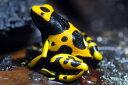 D.leucomelas guyanna yellow 【キオビヤドクガエル】