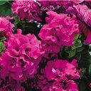 【当店農場生産】八重咲きペチュニア ダブルカスケード バーガンディ 毎年咲く強いペチュニア!耐寒性宿根草♪