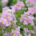 【当店農場生産】宿根ネメシア ピンク 9センチポット苗 寄せ植えやハンキングにも最適♪