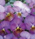 【当店農場生産】ビオラ ももか こうめ 9センチポット苗 花壇や寄せ植えに♪