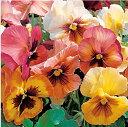 【当店農場生産】パンジー マリポサピーチシェード 9センチポット苗 花壇や寄せ植えに♪