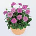 【当店農場生産】スカビオサ リッツ ローズ 9センチポット苗 可愛らしいお花が咲きます♪