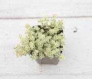 【当店農場生産】多肉植物 クラッスラ リトルミッシー 7.5センチポット苗 グランドカバーに最適!