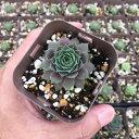 【当店農場生産】多肉植物 センペルビウム ミッドナイトローズ 7.5センチポット苗