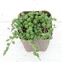【当店農場生産】多肉植物 グリーンネックレス 7.5センチポット苗