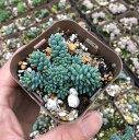 【当店農場生産】多肉植物 マジョール 7.5センチポット苗