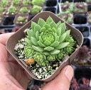 【当店農場生産】多肉植物 センペルビウム アリオニー 7.5センチポット苗