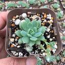 【当店農場生産】多肉植物 グラプトペダルム マクドガリー 7.5センチポット苗
