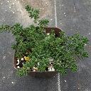 【当店農場生産】セダム ブラックベリー 7.5センチポット苗