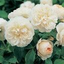 イングリッシュローズ苗 レッチフィールド・エンジェル 鉢植え(6号鉢) 2年大苗 デビッドオースチンロージズ正規品