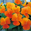 【当店農場生産】ビオラ ももか みかん(花なし苗) 9センチポット苗 花壇や寄せ植えに♪