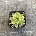 【当店農場生産】多肉植物 エケベリア マッコス錦 7.5センチポット苗