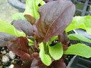 【当店農場生産】ガーデンレタス 9センチポット苗 長く収穫できます。サラダに!