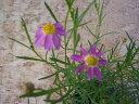 【当店農場生産】アメリカンドリーム 9センチポット苗 耐寒性宿根草で毎年咲く