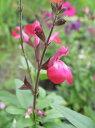 【当店農場生産】チェリーセージ ローズ 9センチポットハーブ苗 耐寒性宿根草で毎年咲く♪