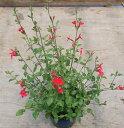 【当店農場生産】チェリーセージ(ホットリップ) 9センチポットハーブ苗 耐寒性宿根草で毎年咲く♪