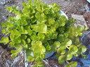 【当店農場生産】リシマキアオーレア はうように育つグランドカバー♪耐寒性多年草