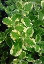 【当店農場生産】パイナップルミント 9センチポット苗 繁殖力旺盛なハーブ