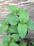 【当店農場生産】レッドラリピラミント 9センチポット苗 お茶にも使えます♪