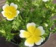 【当店農場生産】リムナンテス・ポーチドエッグフラワー 9センチポット苗 ポーチドエッグのような花がとても可愛らしい♪