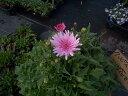 【当店農場生産】桃色タンポポ(クレピス)ピンク 9センチポット苗 ピンクのタンポポがたくさん咲きます♪
