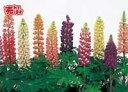 【当店農場生産】ルピナス(苗) 9センチポット苗 大きくなり沢山のお花が咲きます