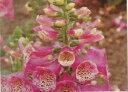 【当店農場生産】ジキタリス キャメロット ローズ 9センチポット苗 鉢植えや花壇に最適!