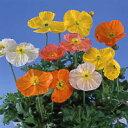 【100円均一】ポピー 9センチポット苗 薄い花びらの美しい花が咲きます☆
