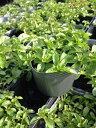 【当店農場生産】ペニーロイヤルミント 9センチポット苗 繁殖力旺盛なハーブ