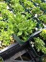 多肉植物 ヌビゲナム