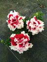 【当店農場生産】八重咲きペチュニア ピロエット レッド 毎年咲く強いペチュニア!耐寒性宿根草♪