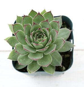 多肉植物 センペルビウム