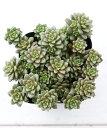 多肉植物 リトルゼム